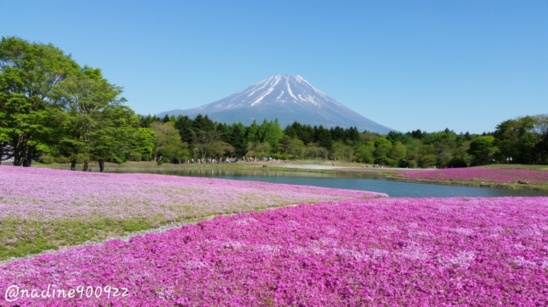 Shibazakura dan Gunung Fuji